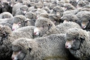 Merino wool, Credit: Bernard Spragg.NZ, FlickrCC