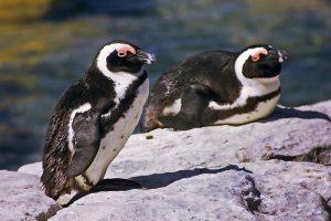 jackass penguins, credit: Frans Vandewalle, FlickrCC